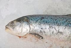 Fresh bright trout fish Stock Photography