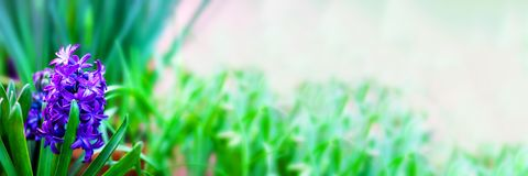 Fresh bright violet blooming hyacinth with green leaves in focus on the background of defucused garden. Wallpaper. Long horizontal. Fresh bright violet blooming stock photography