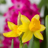 Fresh bright yellow daffodil Stock Photo