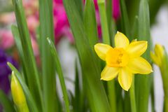 Fresh bright yellow daffodil Royalty Free Stock Photo