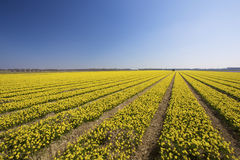 A fresh and bright yellow field of spring flowers Royalty Free Stock Photos
