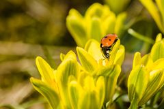 Fresh bright yellow and green lily buds and a ladybird stock images