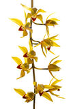 Fresh bright yellow orchid Royalty Free Stock Photography