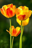 Fresh bright yellow red tulips vertical image Royalty Free Stock Photos