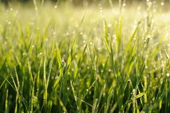Fresh brightly green weed with morning dew drops Royalty Free Stock Photo