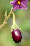 Fresh brinjal Royalty Free Stock Photography