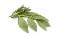 Fresh broad bean leaves Stock Photos