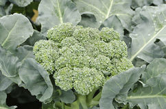 Fresh broccoli close up. Stock Images