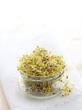 Fresh broccoli sprouts Royalty Free Stock Images