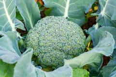 Fresh broccoli in vegetable garden Stock Photos