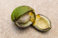 Fresh broken Hickory Nut Stock Images