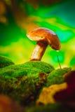 Fresh brown cap boletus mushroom on moss Royalty Free Stock Photos
