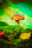 Fresh brown cap boletus mushroom on moss in the rain Royalty Free Stock Photo