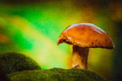 Fresh brown cap boletus mushroom on moss in the rain Stock Photos