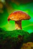 Fresh brown cap boletus mushroom on moss in the rain Stock Images