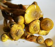 Fresh brown mushrooms, close up stock photography