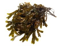 Fresh brown Seaweed - Healthy Nutrition royalty free stock photos