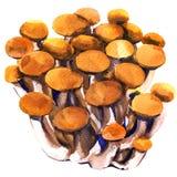 Fresh brown shimeji beech mushroom, closeup, bunch of edible mushrooms isolated, watercolor illustration on white Stock Photos