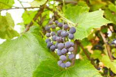 Fresh brunch of purple grapes in vineyard on blurred nature background. royalty free stock images