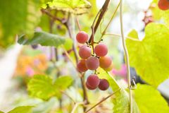 Fresh brunch of purple grapes in vineyard on blurred nature background. royalty free stock photos