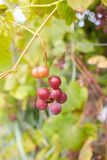 Fresh brunch of purple grapes in vineyard on blurred nature background. royalty free stock image