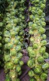 Fresh brussels sprout tree. Fresh organic brussels sprout tree in a market Stock Photography