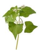 Fresh Buckwheat plant royalty free stock image