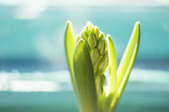 Fresh budding hyacinth - Beginning of life Royalty Free Stock Photos