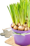 Fresh bulbs of Grape Hyacinth in a pot Stock Photo