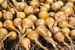 Fresh bulbs of onions Royalty Free Stock Photos