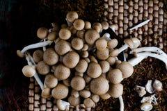 Fresh buna shimeji mushrooms Stock Image