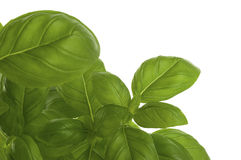 Fresh bunch of basil Stock Photography