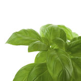 Fresh bunch of basil Stock Images