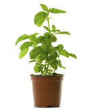 Fresh bunch of basil into a brown pot Royalty Free Stock Photos