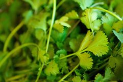 A fresh bunch of cilantro Royalty Free Stock Image