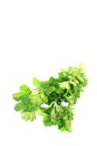 Fresh bunch of coriander Stock Photography