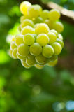 Fresh bunch of green grapes Royalty Free Stock Photos