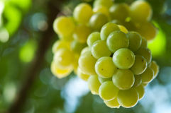 Fresh bunch of green grapes Stock Photo