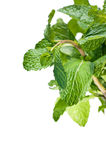 Fresh bunch of mint leaves Royalty Free Stock Photos