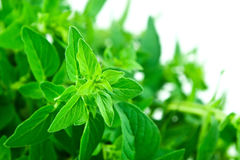 Fresh Bunch of Oregano Leaves Isolated Over White Royalty Free Stock Images