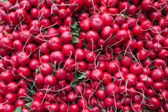 Fresh bunch of Radishes. Royalty Free Stock Photos