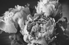 Fresh bunch of three pink peonies roses flowers. Pastel floral wallpaper. Black and white photo with beautiful peony royalty free stock images