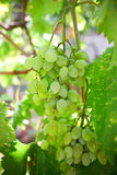 Fresh bunch of white grapes Royalty Free Stock Photo