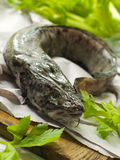 Fresh burbot Stock Image