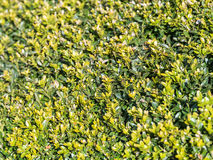 Fresh Bush Leaves Texture Stock Photo