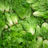 fresh butterhead lettuce Royalty Free Stock Image