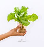 Fresh butterhead in wine glass Royalty Free Stock Photography