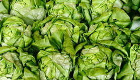 Fresh Buttery Lettuce Stock Photography