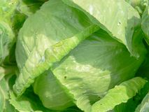 Fresh cabbage Royalty Free Stock Image