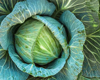 Fresh cabbage. Beautifully planted cabbage Chemicals to help them grow Royalty Free Stock Photos